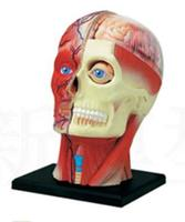 4D Human head muscle nerve model Anatomical model of brain tissue Body assembly model free shopping