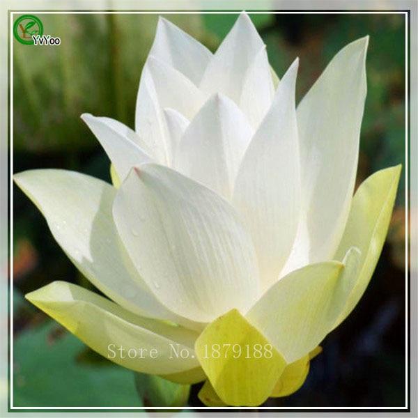 achetez en gros fleur de lotus couleur en ligne des grossistes fleur de lotus couleur chinois. Black Bedroom Furniture Sets. Home Design Ideas