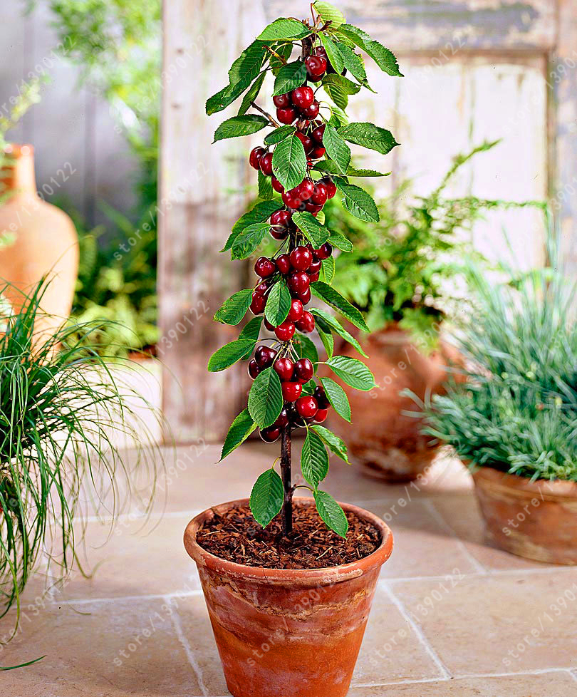 10 pcs/bag cherry seeds mini cherry tree organic fruit seeds bonsai tree seeds super sweet food plant pot for home garden