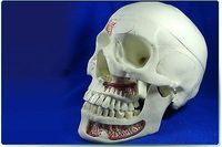 Simulation Human Anatomical Anatomy Head Skull Skeleton Medical Model Mouth