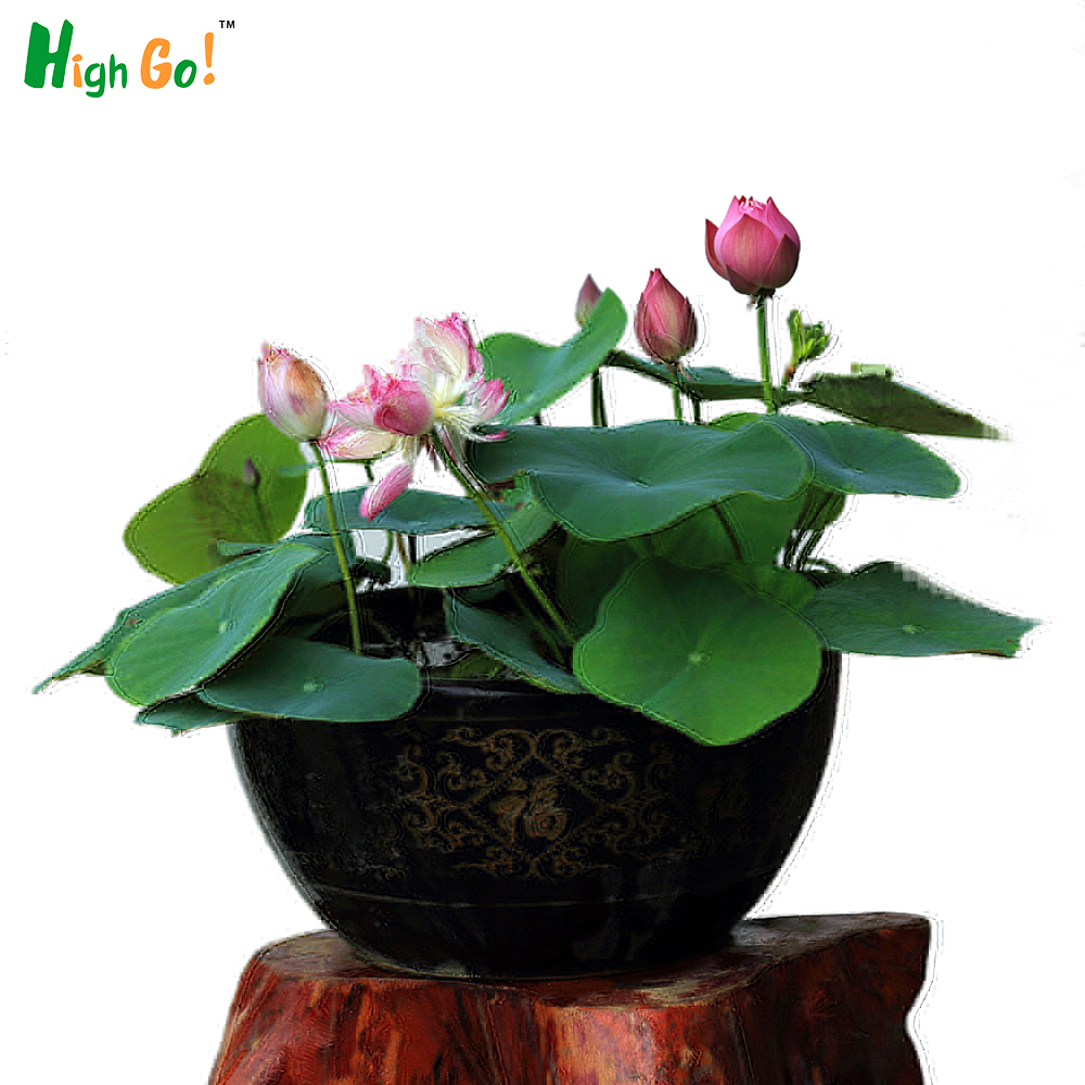 Lotus flower bowl promotion shop for promotional lotus flower bowl bonsai potted lotus seeds grow plants for many years bowl lotus flower seeds garden plant dhlflorist Choice Image