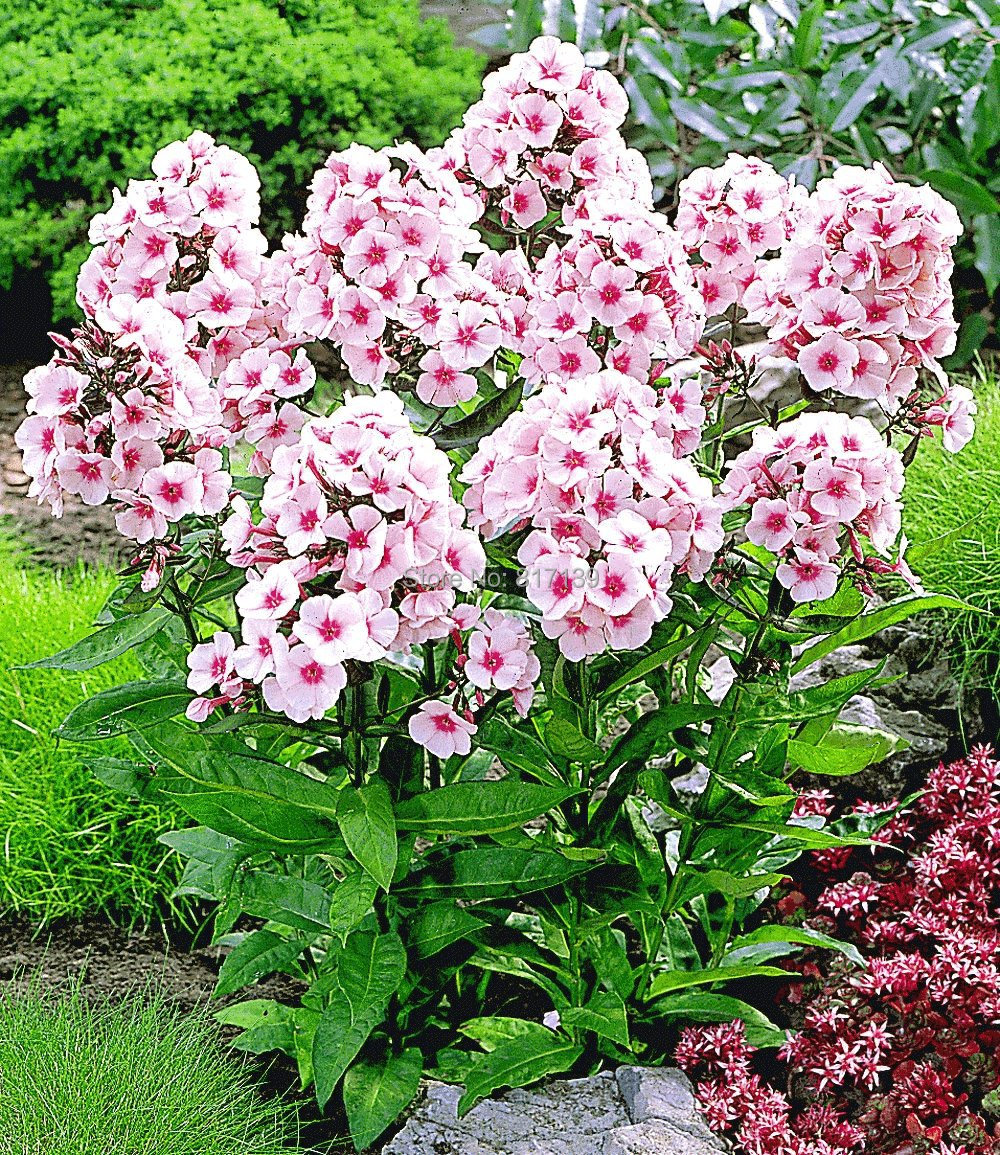New arrival home garden plants 50 seeds outdoor perennial phlox new arrival home garden plants 50 seeds outdoor perennial phlox seedsplanting phlox flower seeds free shipping in bonsai from home garden on mightylinksfo