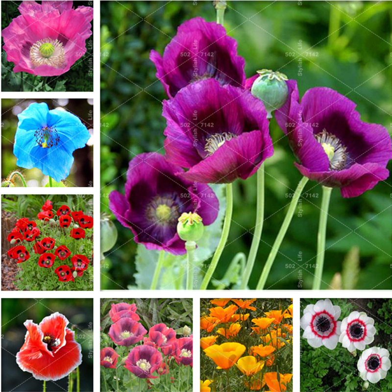 100% Genuine 500 Pcs Rare Poppy Papaver Croceum Novel Bonsai Plants Papaver Nudicaule Beautiful Poppy Flowers For Home Garden(China)
