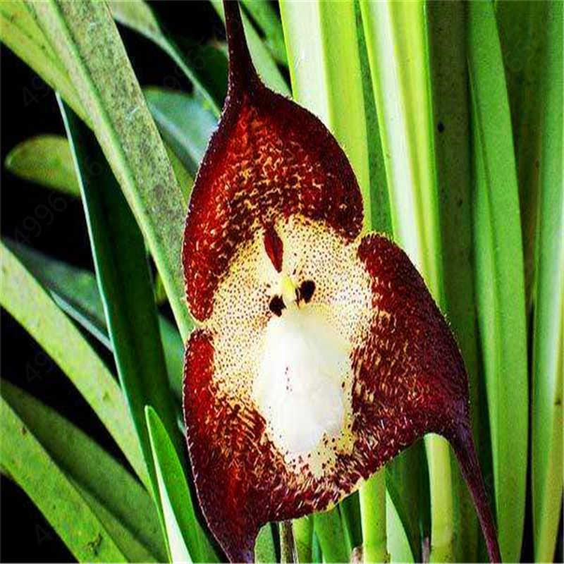 100 Pcs 10 סוגים חמוד קוף הפנים סחלב בונסאי קוף סחלב בונסאי צמחי פרחים בונסאי עבור בית גן