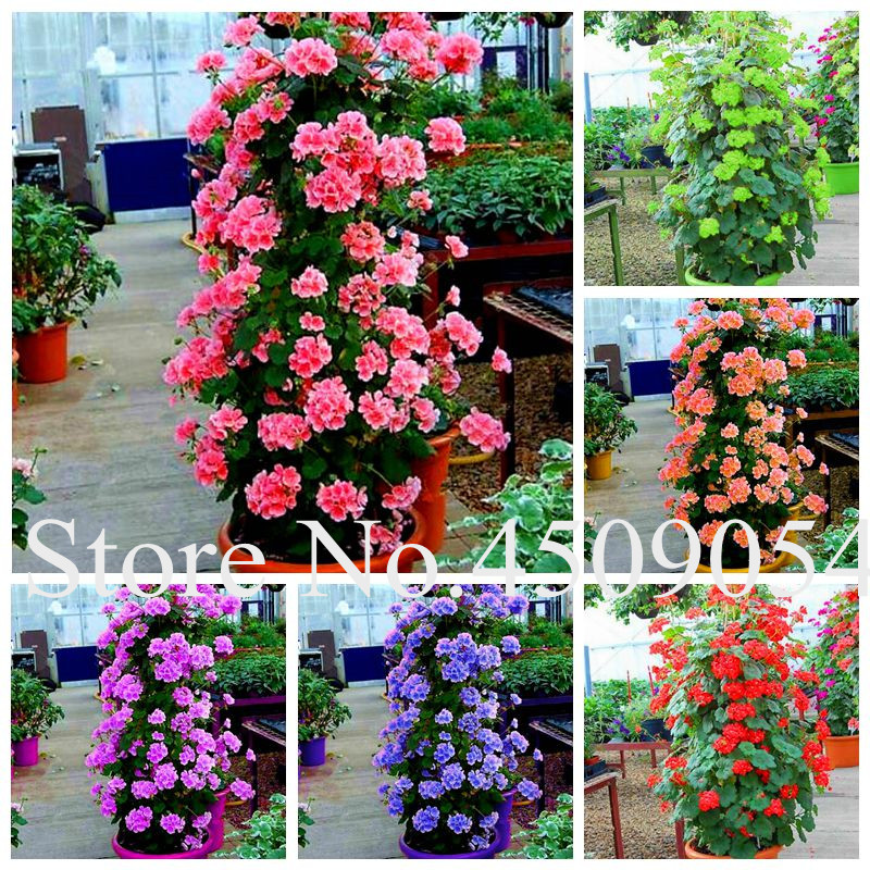 Sale! 100 Pcs Bonsai Climbing Geranium Pelargonium Peltatum Tree Bonsai Perennial Flower Indoor Rooms Seedsplant For Home Garden(China)