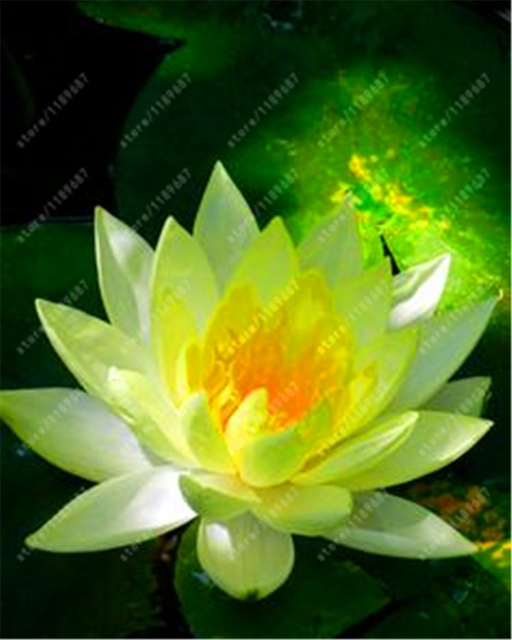 Lotus seeds Aquatic plants Water Plants  for home garden