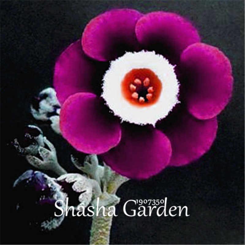 ترقية!!! 200 قطعة زهرة الربيع الأزرق مساء زهرة الربيع ، الغريبة الإرث زهرة عطرة لتقوم بها بنفسك حديقة المنزل زهرة نبات هاردي