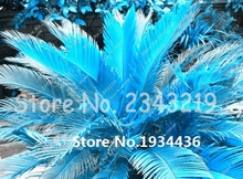 100pcs Mixed Sago Palm Tree Cycas Seeds