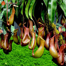 Green Nepenthes Insectivorous Plant Seeds Flower  Bonsai Eating Mosquito Varieties of Seed Plants  50 Particles / lot