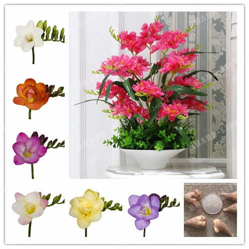 Color Mixing Freesia Hybrida Bulbs Potted Flowers Potted Plant Roots - Bulbs Indoor Plant Natural Growth 2pcs