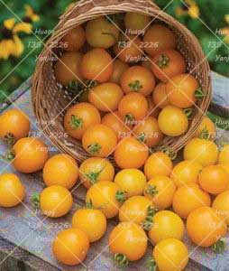 100PCS Yellow Tomato Bonsai Plant Organic Vegetable Plants Indoor Tomato Good Harvest For Greenhouse-Land Miracle