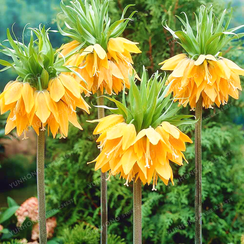 30pcs Crown Imperial Seeds Wang Fritillaria Seeds Easy To Grow Home