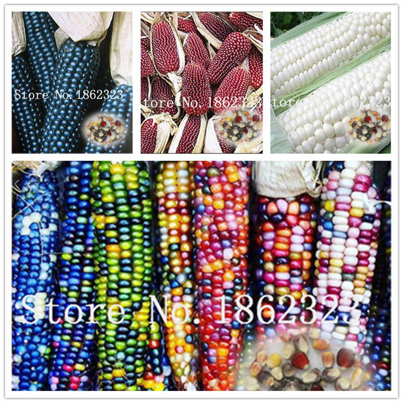 30 pcs Sweet Rainbow Corn Bonsai Colorful Corn Grain Cereals High-Quality Bonsai Vegetables For Home Garden the Budding Rate 97%