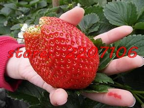 300 pcs climbing strawberry seeds big strawberry delicious fruit and vegetable seeds for home garden strawberry tree