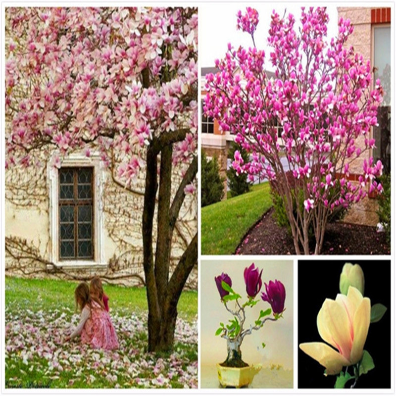 100 Pcs Exotic Magnolia Garden Plants Bonsai Tree Perennial Bonsai Tree DIY Home Garden Plant Chinese Flower Most Popular