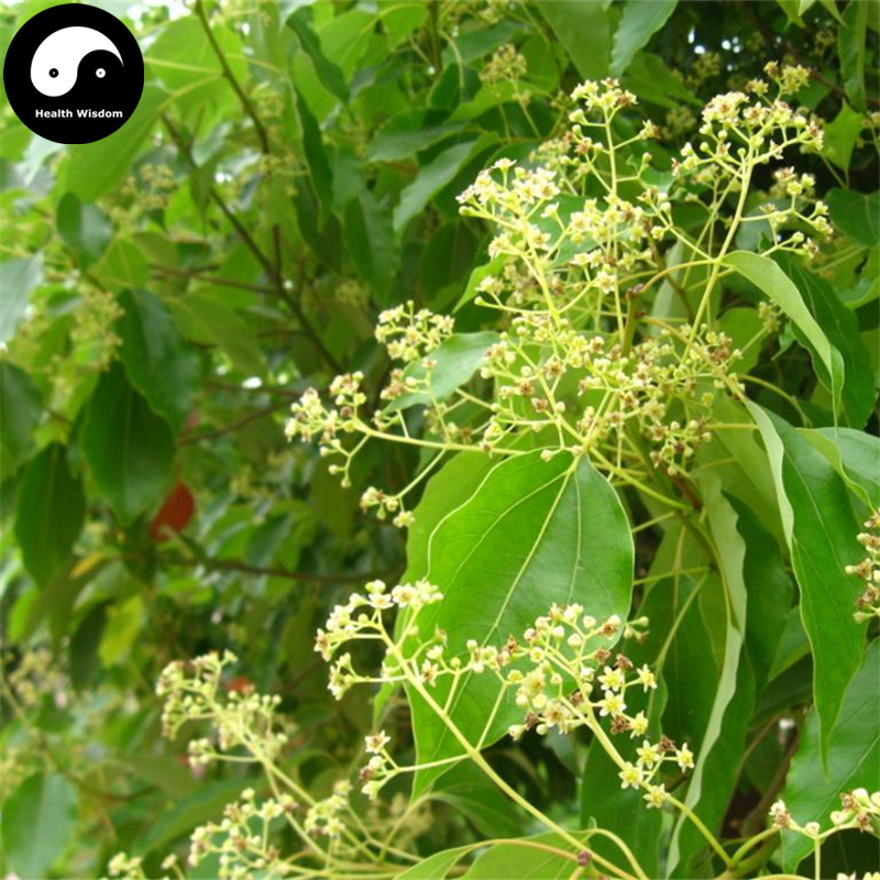 Buy Camphor Tree Semente 60pcs Plant Cinnamomum Camphora For Chinese Camphor Tree
