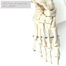 CMAM/Размер жизни, кость руки человека, скелет ноги, локоть сустава, плечевого сустава, коленного сустава, сустава бедра, шарнирная модель скелета
