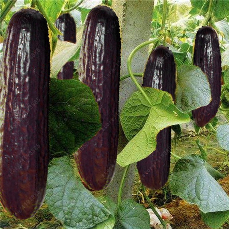 100 pcs rare purple black cucumber japanese long cucumber seeds for home garden seeds vegetables healthy Non-GMO plants