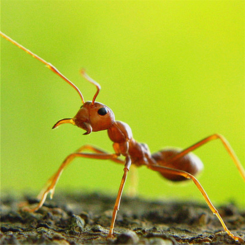 Wild Red Ants Chinese Immune Function Health Care Ant Tetramorium ...