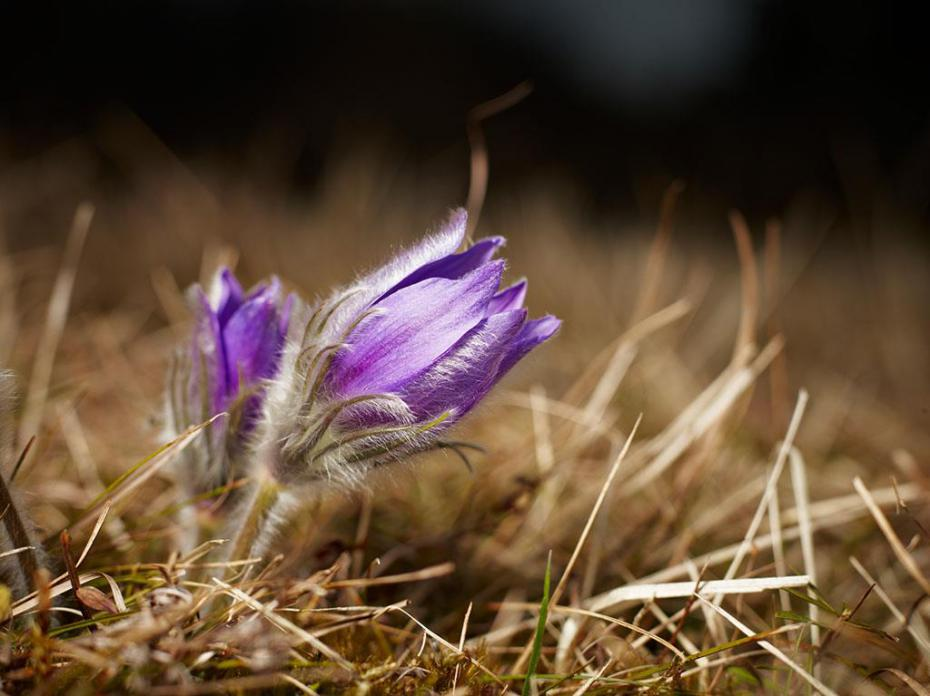 White 25 Seeds Pulsatilla Vulgaris-Pasque Flower Anemone