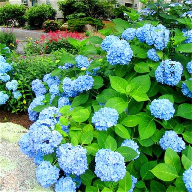 30 pz blu Ortensia fiore Soggiorno all'aperto bonsai fiore Il Tasso di Germinazione del 95%, romantico Incredibilmente fiore impianto FAI DA TE