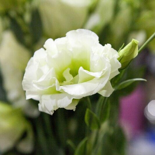 ахименесы ризомы комнатные цветы с доставкой из России