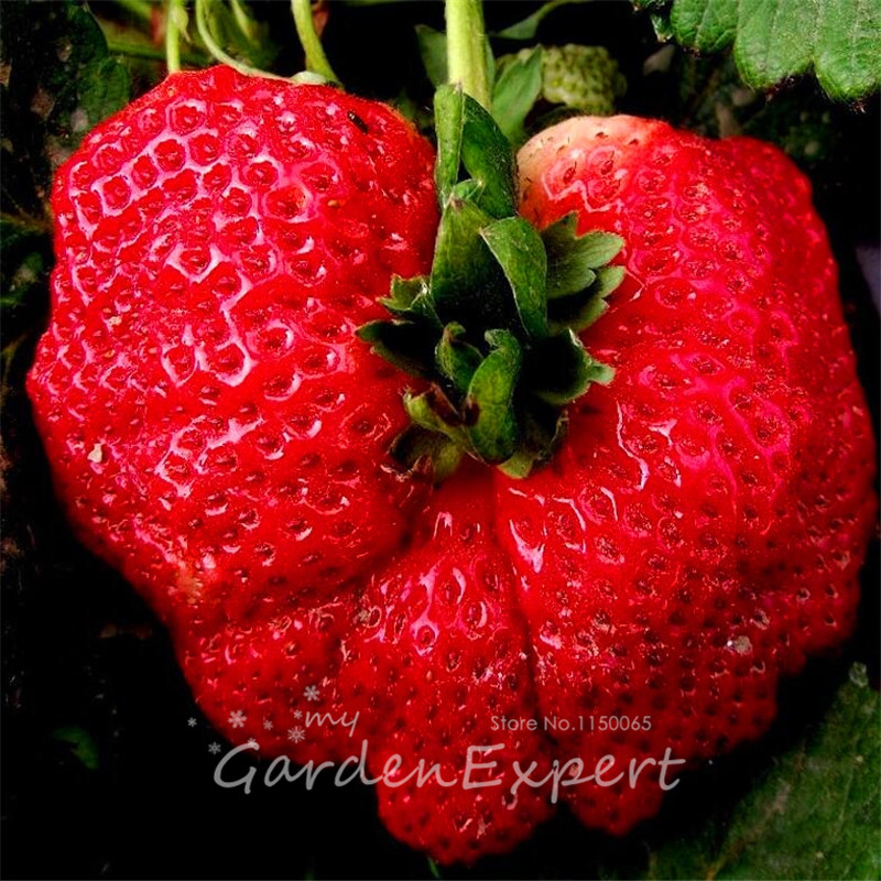 100pcs Potted Stawberry Seeds Strawberry Darselect Fruit Bonsai Seeds Red Strawberry Hom ...