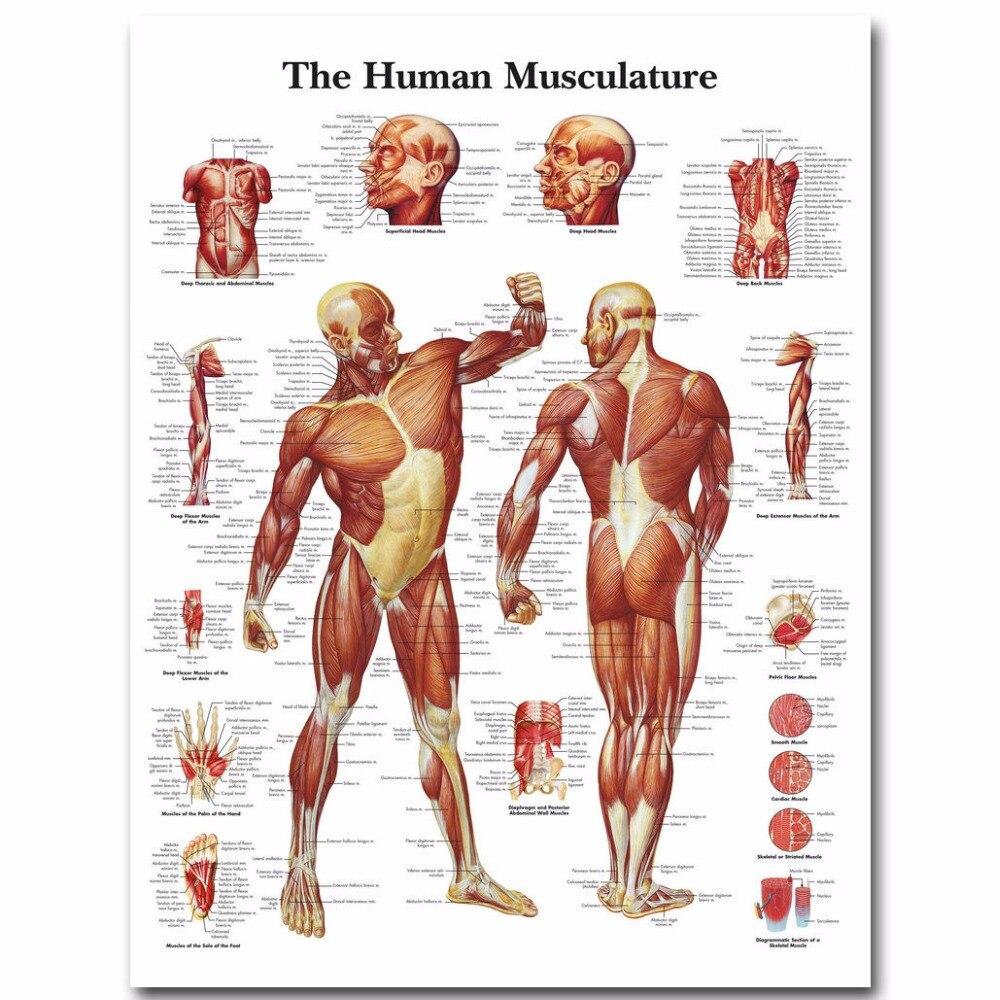 J2276 humano anatomía músculos sistema pop 14x21 24x36 pulgadas seda ...