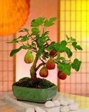 100pcs/bag Rare Tropical Fig Seeds Mini Fig Tree Bonsai Plant seeds Rare Fruit Seeds for Home Planting high Germination