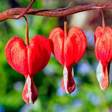 100 pcs/bag Dicentra Spectabilis Bleeding Heart classic cottage garden plant, heart-shaped flowers in spring,rare orchid