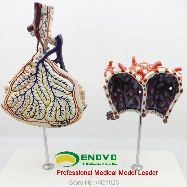 все цены на ENOVO The anatomical structure model of human lung segments in the respiratory system of pulmonary alveolar amplification model онлайн