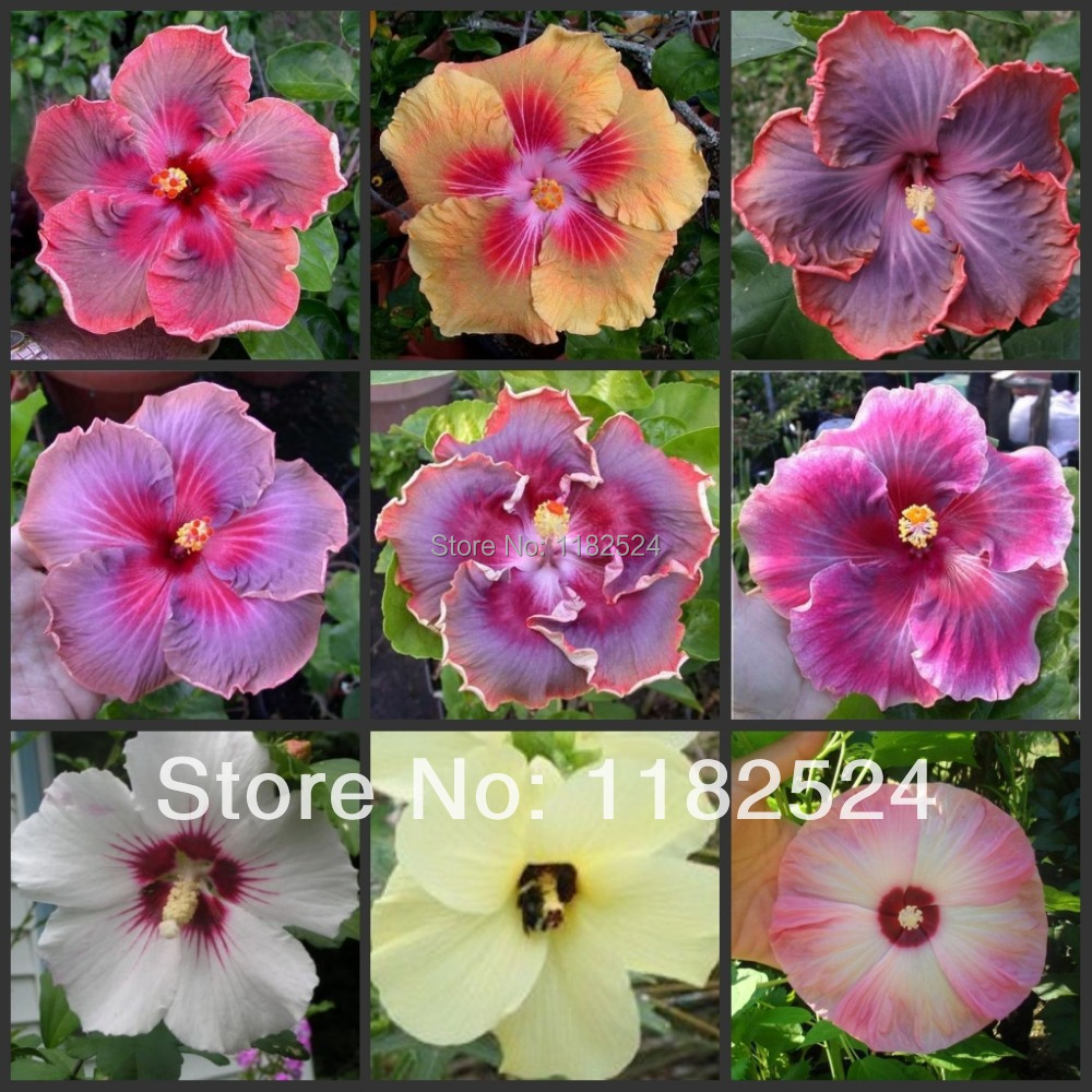200pcs Mix Rare Tropical Hibiscus Flower Seeds A494