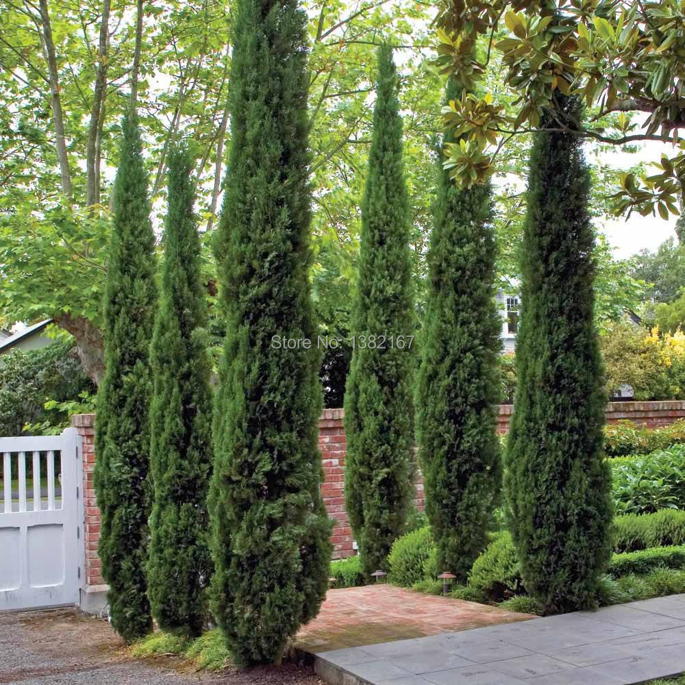 100pcs cypress trees seeds conifer seeds diy home garden free shippingchina mainland. beautiful ideas. Home Design Ideas