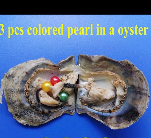 3pcs Colored Pearls in a Oyster Saltwater Akoya Oysters with 3 Vibrant Colors Round Pearls  Random Mixed Pearls Oyste PJW2063pcs Colored Pearls in a Oyster Saltwater Akoya Oysters with 3 Vibrant Colors Round Pearls  Random Mixed Pearls Oyste PJW206