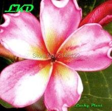 7 to15inch Rooted Plumeria Plant Thailand Rare Real Frangipani Plants no66-diamond-crown