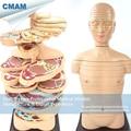 12398-1 / Horizontal Cutting Anatomy Model of Human Body and CTMRI Brain, Medical Science Anatomical Models