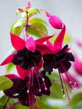 200Pcs Fuchsia Tree Seeds