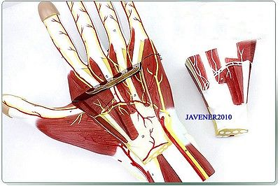 Human Anatomical Anatomy Hand Medical Model Nerve Blood Vessel Divided human female pelvic section anatomical model medical anatomy on the base