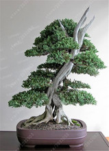 50pcs juniper bonsai tree potted flowers office bonsai purify the air absorb harmful gases juniper home garden pot plants