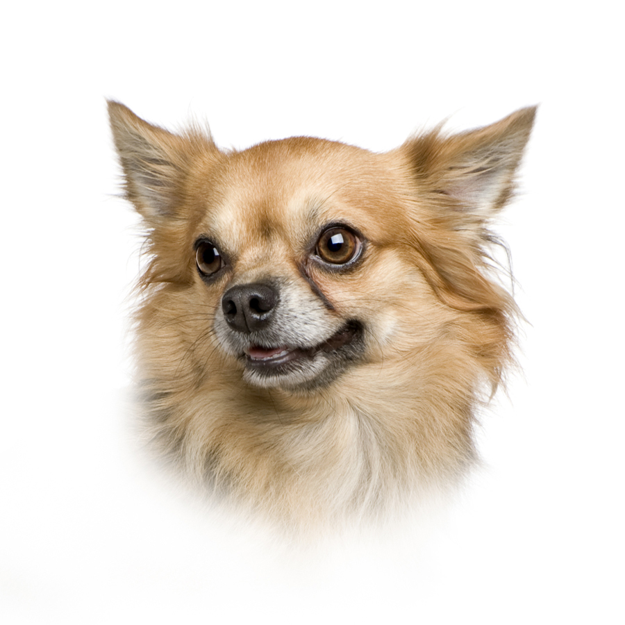 Full Diamond Embroidery Cute Pet Diamond Painting Chihuahua Dog