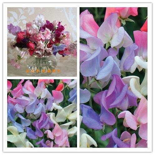 Лидер продаж шт. 10 шт. сладкий горох (Lathyrus Odoratus) Бонсай красивый цветок бонсай растение для домашнего сада Бесплатная доставка
