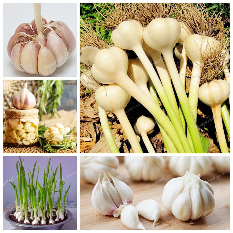 buy hot sale 100pcs garlic seeds healthy and delicious pungent spice vegetable seeds pure natural and organic vegetable seeds from reliable