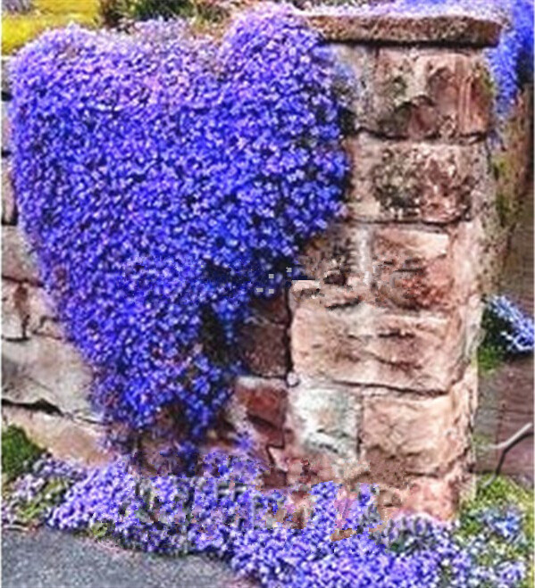 200 perennial flowering groundcover seeds rock cress bright blue 200 perennial flowering groundcover seeds rock cress bright blue ebay mightylinksfo