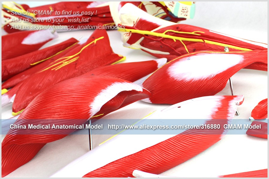 CMAM-TM6028 NEW LEG MUSCLE MODEL ANATOMY 2