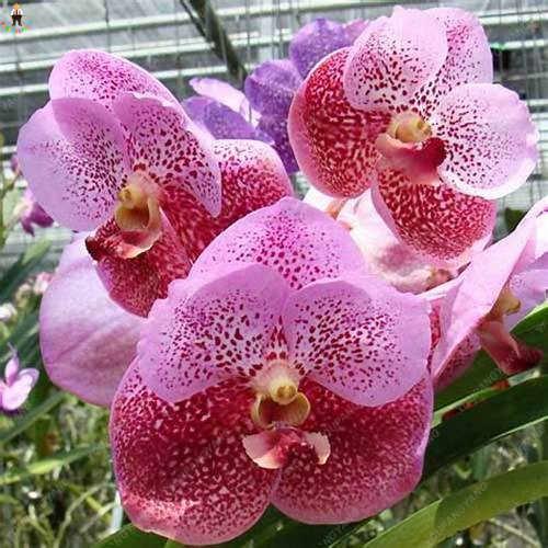 200 ピースミニ胡蝶蘭盆栽植物フローレスユニークな虹蝶蘭庭混合色バルコニー観賞植物