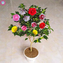 10pcs Rainbow Camellia Common Camellia Bonsai Perennial Indoor Flower For Home Garden Potted Plant Easy To Grow(China)
