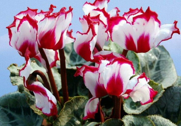 Image result for pictures of cyclamen