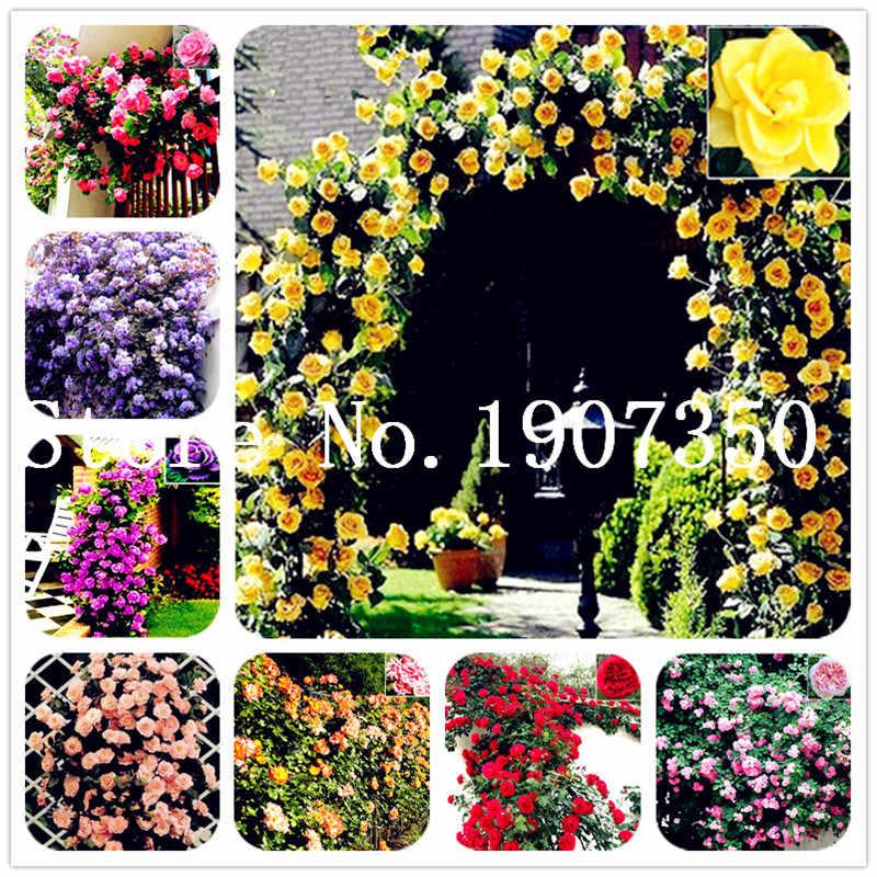 Hot Bán! 50 cái Leo Núi Hoa Hồng bonsai Cây Leo Trung Quốc Hoa cây cảnh hồng, rosa hoa lâu năm nhà máy đối với trang chủ vườn