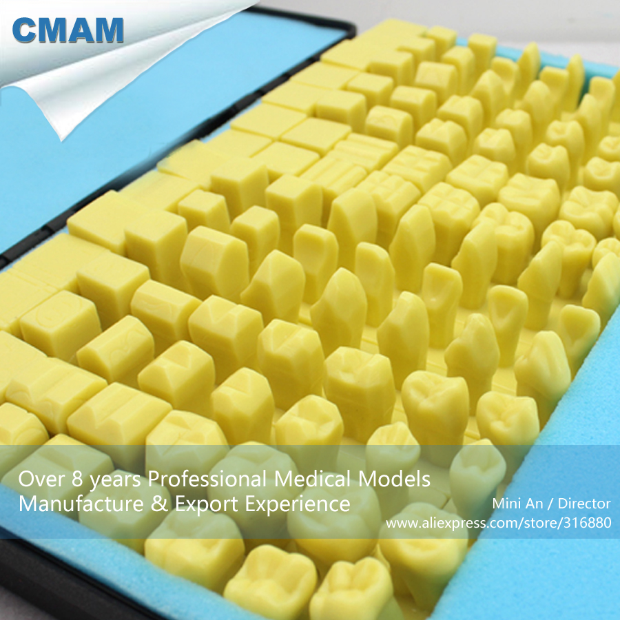 CMAM-TOOTH08 Dental Model of Full-mouth Carving of Portable Packaging,  Medical Science Educational Teaching Anatomical Models simranjeet kaur amaninder singh and pranav gupta surface properties of dental materials under simulated tooth wear