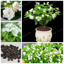20 Pcs/Bag Potted Plants Jasmine Seeds Beautiful Jasminum Sambac Flower Seeds For Home Garden Easy To Grow(China)